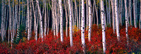 Aspens and Highbush Cranberry